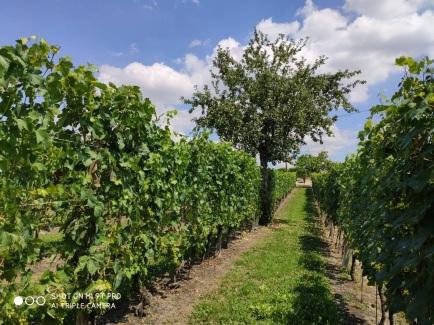 árbol en medio de los viñedos